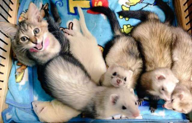 Adorable Little Kitten Called Komari Was Rescued, Now She Thinks She�s A Ferret