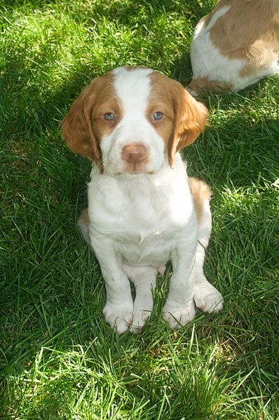omgomg so dang cute. Brittany spaniel puppy with blue eyes! Will be my next dog.