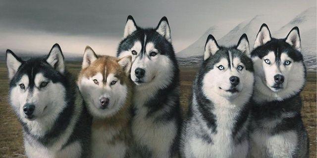 ไซบ เร ยนเป นหมาน าร ก 10 ความจร งน าร ของส น ขสายพ นธ ไซบ เร ยน ฮ สก Siberian Husky Husky Siberian Husky Facts