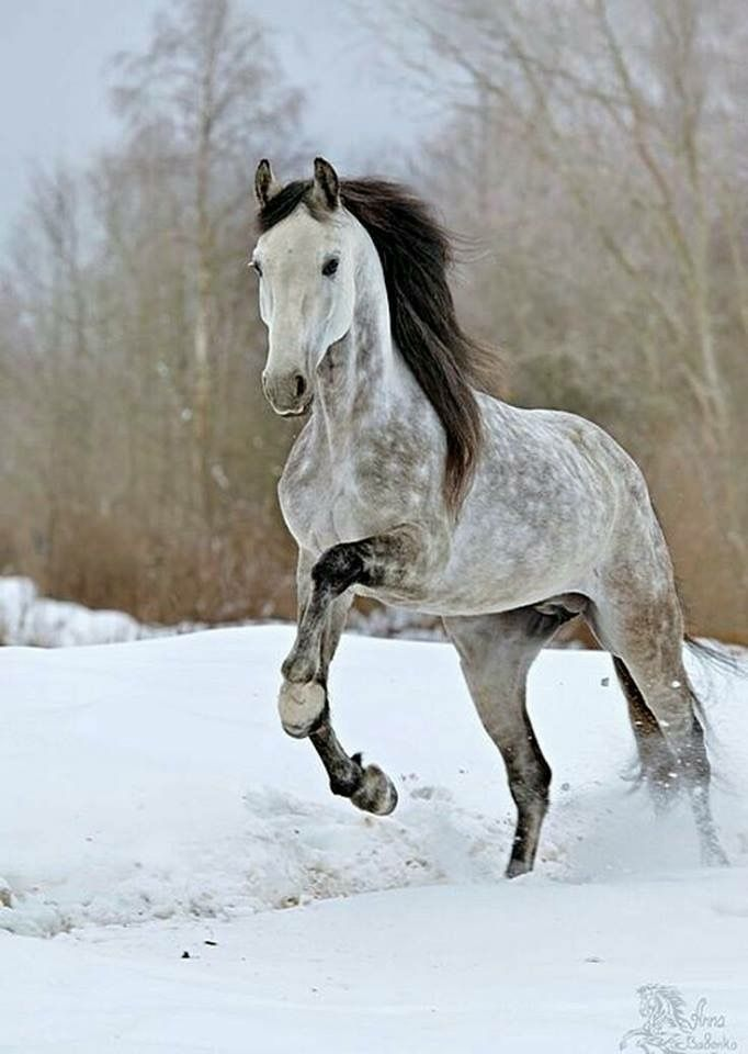 Dapple grey horse with dark mane running in the snow.
