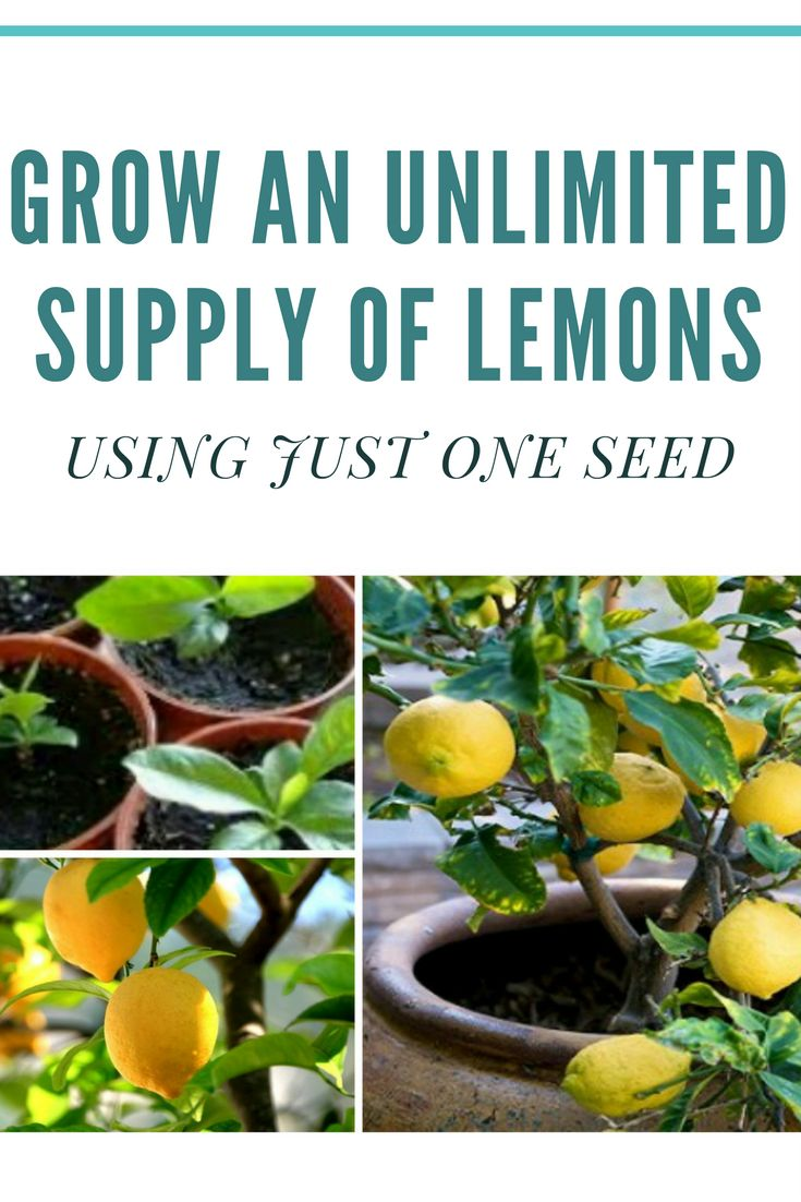 HOW TO GROW AN UNLIMITED SUPPLY OF LEMONS USING JUST 1 SEED..!