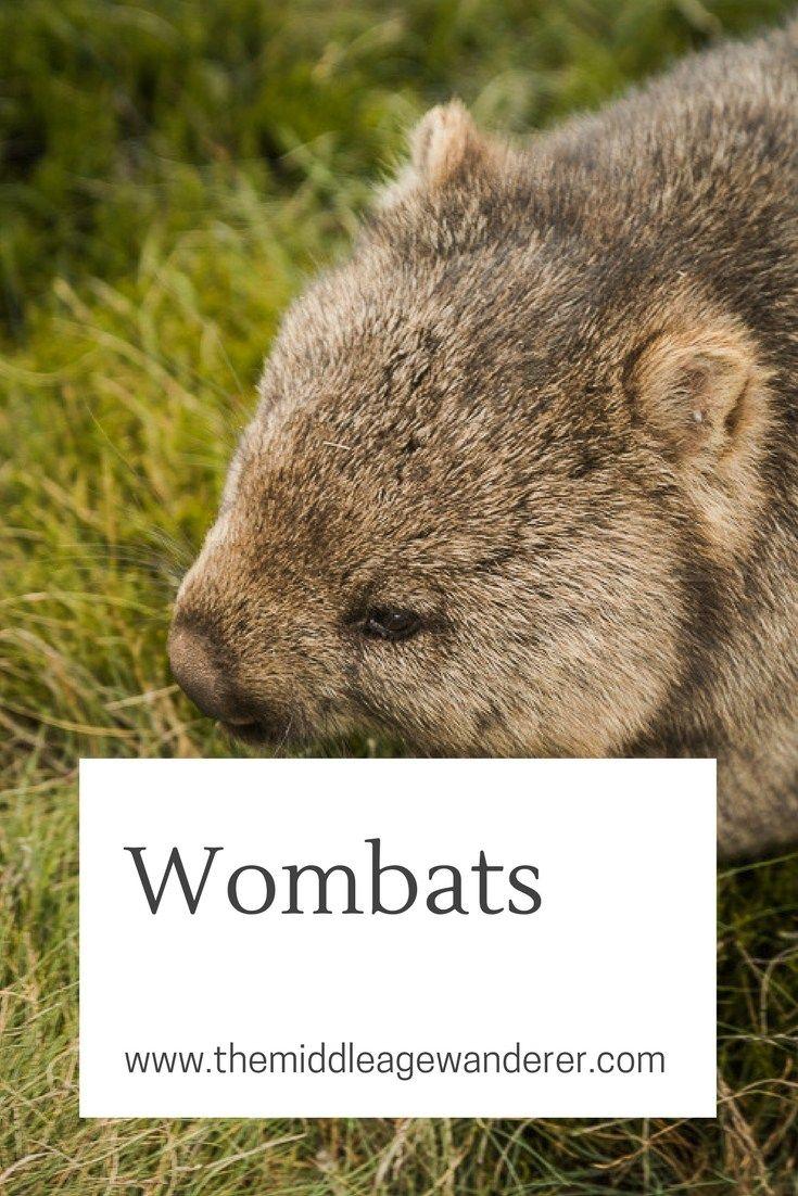 Wombats in the wild at Cradle Mountain and Maria Island, Tasmania, Australia.  Wildlife