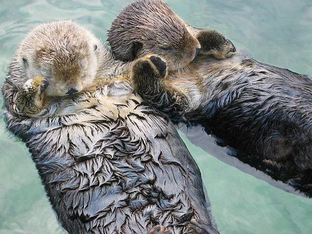 Su samurları akıntıyla farklı yerlere sürüklenmemek için uyurken el ele tutuşurlar.