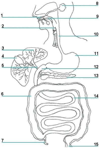 Print ready worksheet picture of the organs and accessory structures of the digestive system.