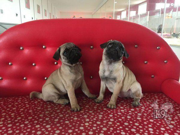 Satılık Pug ( Mops ) Yavruları   Club K9 Köpek Çiftliği ve Binicilik Merkezi