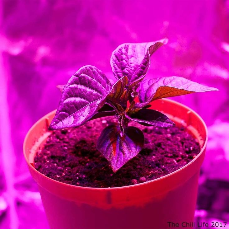 Grow tent  LED lights = this plant is growing well.  #thechililife #capsicum