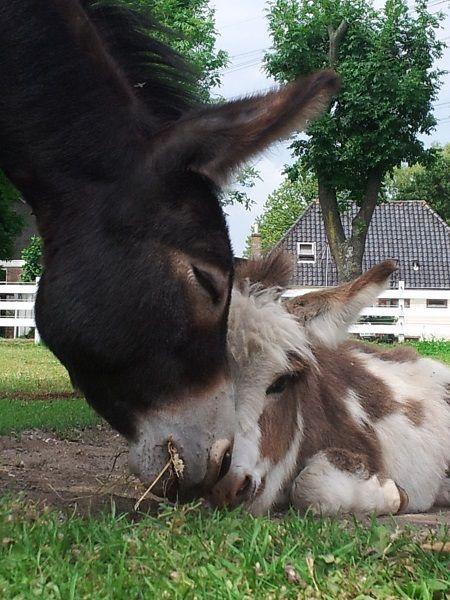 Tot de volgende keer maar weer....... Courtesy: Mini Ezel Stal 't Peertje (Nederland).