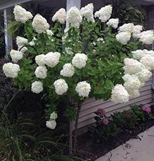 Limelight Hydrangea tree  Dwarf Tree with Giant Blooms from Fast-Growing-Trees Got to have one! One on either side of the front steps, providing blooms for my kitchen table...