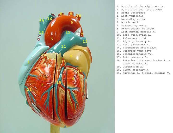 heart_DG_label.jpg (720×552)