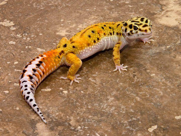 El Gecko leopardo – La voz del muro