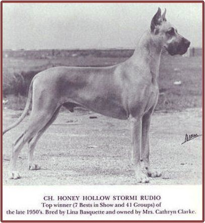 """CH Honey Hollow Stormi Rudio, rich golden fawn. Stormi produced one of the breed's greatest showdogs - CH Honey Hollow Broadway Jim. Anyone can look up the incredible contribution that Stormi, his progenitors and his progeny made to the Great Dane breed. Too bad that his legacy is tainted with the """"sour grapes"""" attitude of his fellow show breeders. Their jealousy over Stormi Rudio's success in the show ring resulted in the infamous """"Color Code of Ethics"""" by the GDCA."""