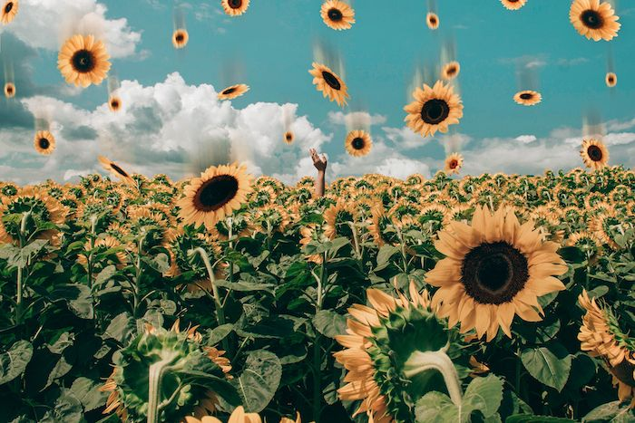 Animated Falling Sunflowers Falling Over Field Of Sunflowers Tumblr Aesthetic Backgrounds In 2020 Sunflower Wallpaper Aesthetic Desktop Wallpaper Aesthetic Wallpapers