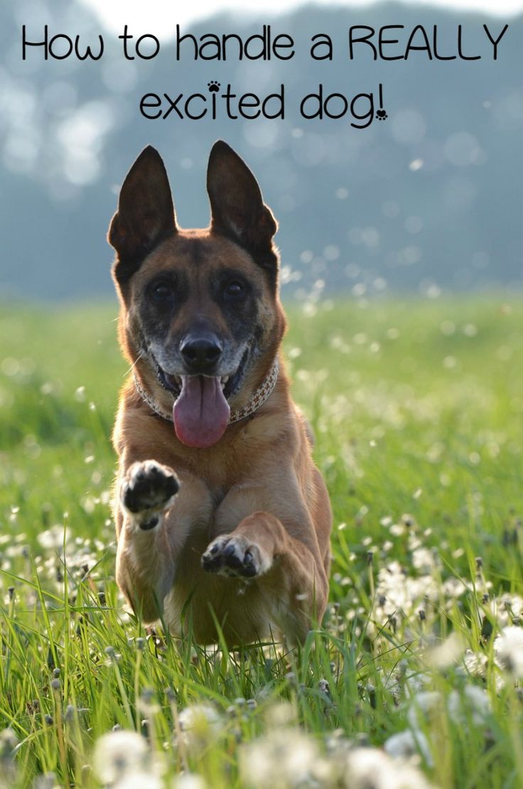 How to Deal with an Overly Excited Dog: When people have an excited dog, they often try to run away from a situation. However, it's better to just help your excited dog through the situation.