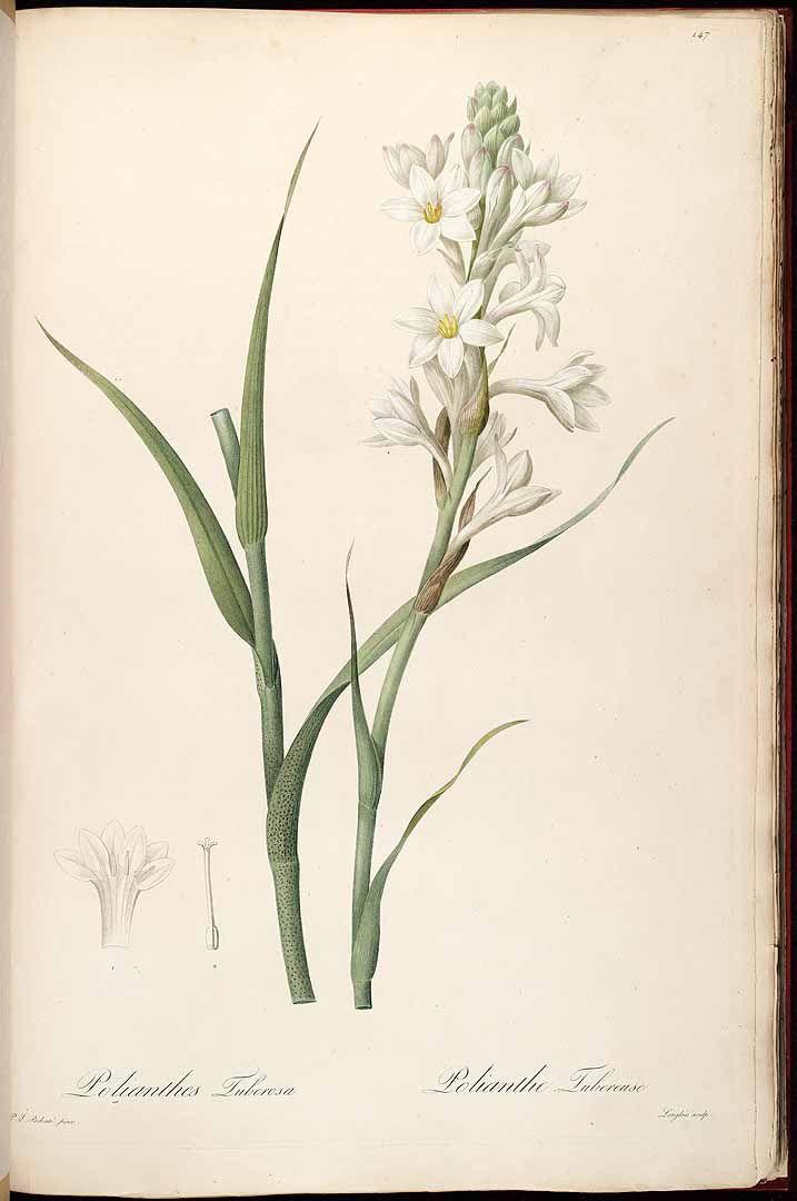 チュベローズ(月下香) Polianthes tuberosa リュウゼツラン科  Redouté, Les Liliacées (1805-1816)