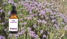 L'antibiotique du futur, l'huile essentielle d'Origan (<i>Origanum vulgare</i>)