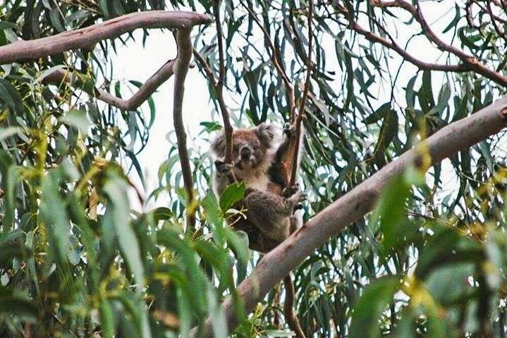 Kennett River Australia (VIC) - June 2015. Sometimes I'm hungry. Other times I'm asleep.  On average koalas sleep 20 hours a day and spend most of the awake time munching on eucalyptus leaves. Those are feebly nutritious yet super high in fiber which explains why the bears need that much rest saving the bit of energy provided to digest what's going to be the source of energy required for the next digestion and so on. Tough! Don't change your diet mate!  #Koala #Marsupial #Australia…