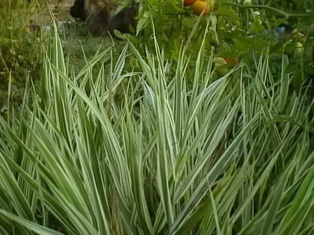 a ribbon grass plant growing in the garden  phalaris arundinacea