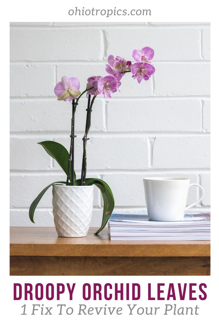Droopy Orchid Leaves In 2020 Orchid Leaves Orchids Plants