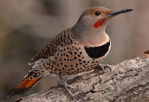 74 Best Images About Flicker Birds On Pinterest Feather