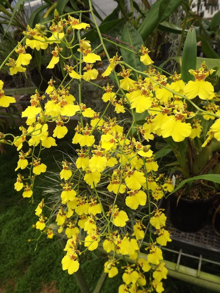 "My Oncidium orchid - Sum Lai Woh ""Geyserland"" - It flowers with long flower spikes and multitude of medium size perfect flowers - ""Geyserland"" never disappoint - year after year it bursts out with an explosion of perfect blooms just like a geyser."