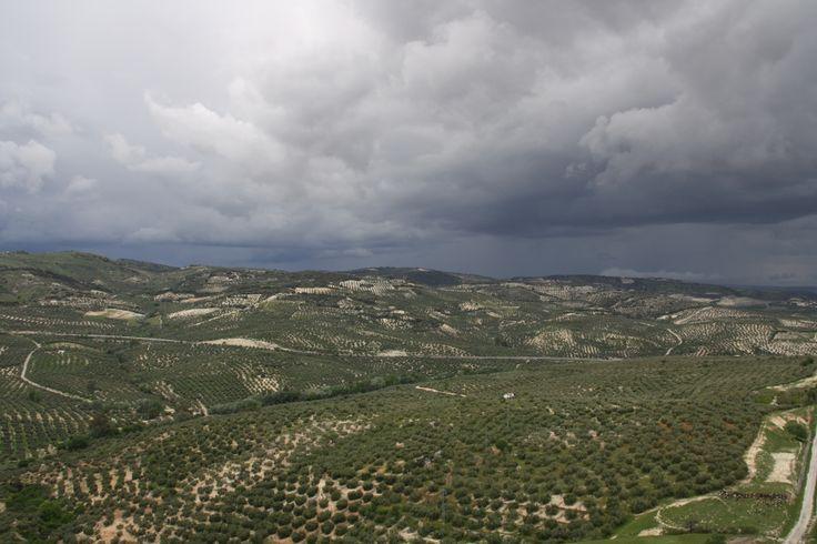 olivos en Córdoba