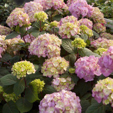 Endless Summer Hydrangea, Bloomstruck