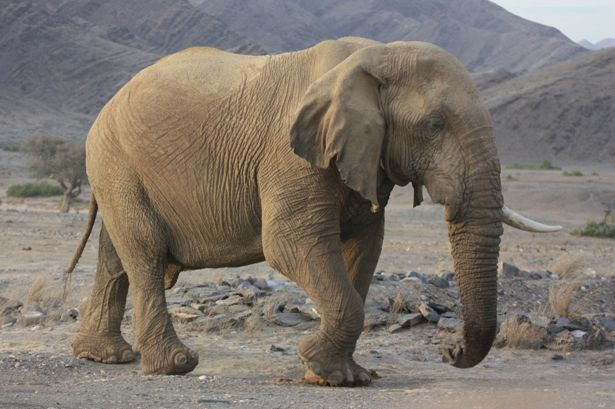Studying Desert Giants: The Elephants of Namibia