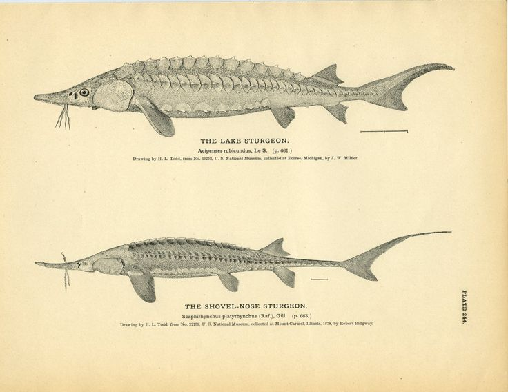 "Original print from 1884 Drawn by: H. L. Todd From: ""The Fisheries and Fishery Industries of the United States"" prepared by George Brown Goode Publisher: Government Printing Office in Washington Condi"