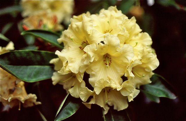 Hirsutum.info -- Rhododendron Hybrid: Karalee high-resolution picture