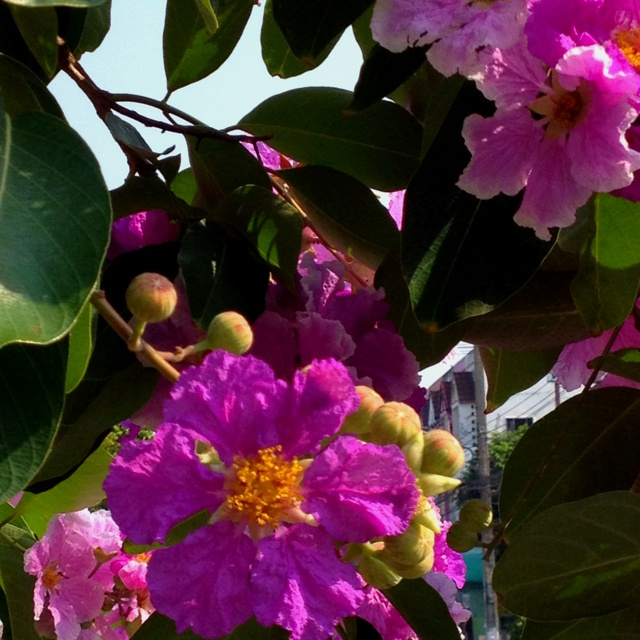 Beautiful flowering tree in Thailand