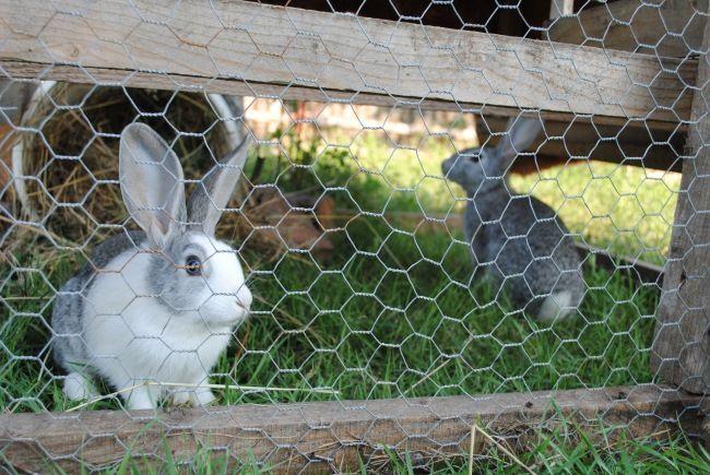 Totul despre creșterea iepurilor de casă: sfaturi utile pentru o afacere profitabilă