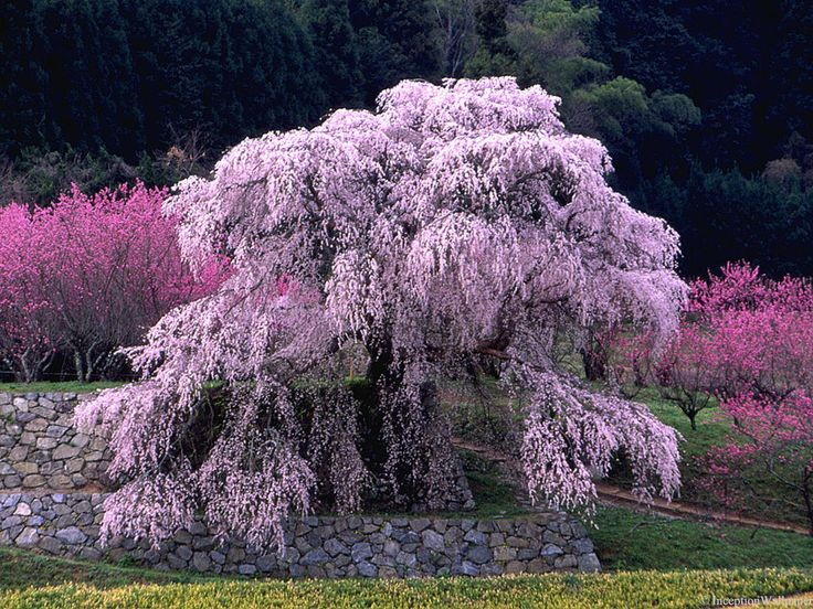 Japanese Cherry Blossom TreeCherries Blossoms, Cherries Trees, Beautiful Trees, Amazing Trees, Japanese Cherries, Blossoms Trees, Animals Nature, Japanese Inspiration, Trees Blossoms