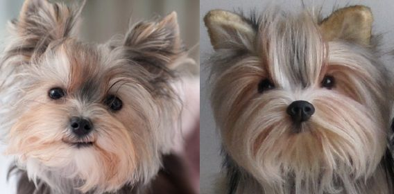 100% custom stuffed animals made to look like YOUR dog! They're called Cuddle Clones! This is Misa Minnie, the mini Yorkie and her Cuddle Clone :)