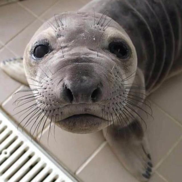 62 best Elephant seal images on Pinterest | Elephant seal ...
