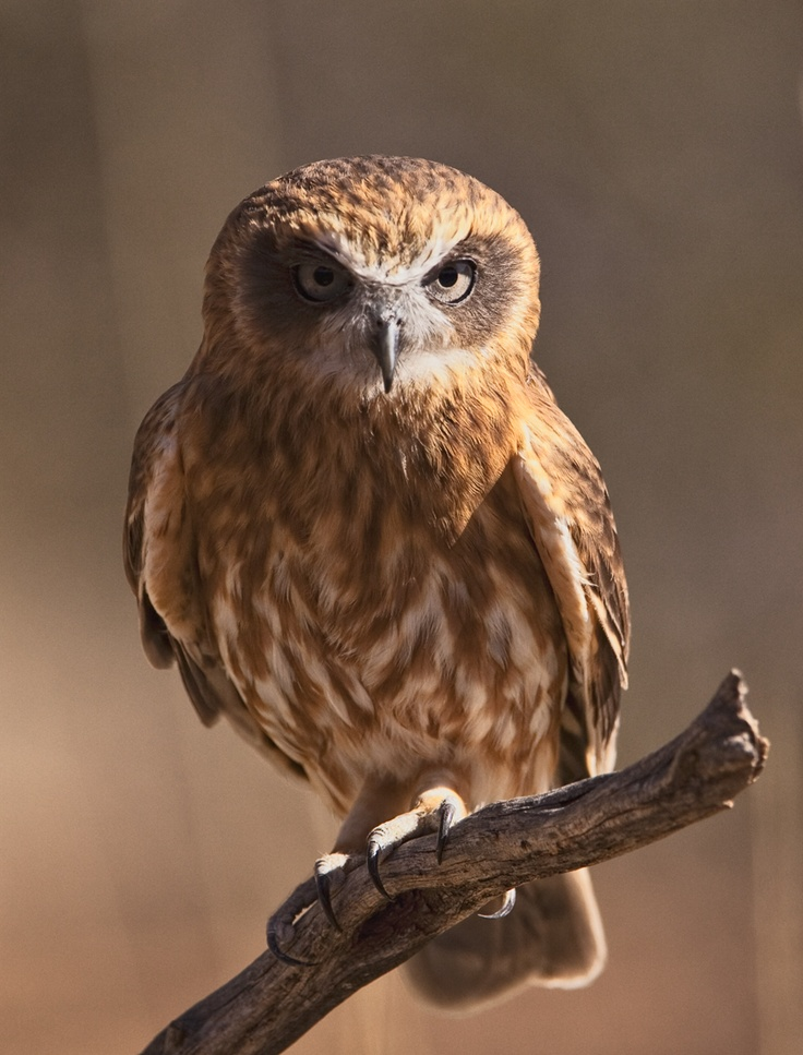 """Southern Boobook Owl (Ninox novaeseelandiae), a nocturnal hunter, their hunting strategy is """"perch-and-pounce"""".  They can be found in Tasmania, most of the mainland and even in New Zealand.  They have over 20 common names used across the country."""