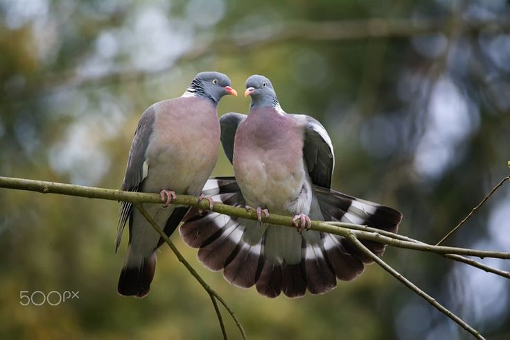 Stock-dove love by Ondřej Chvátal on 500px