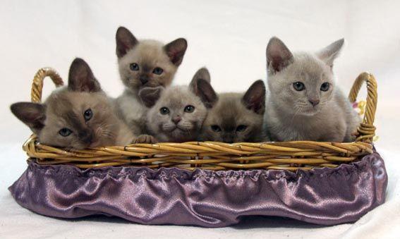Cutekats Burmese Burmese Cat Breeders Aust Newcastle Nsw Burmese Cat Cat Breeder