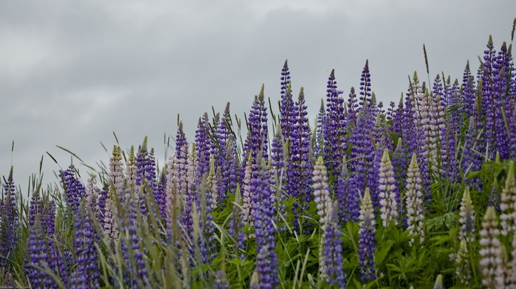 That's so great with lupins is that they bloom from the bottom upwards. On the way they show their flowers over a long period to delight both us, bumblebees and bees. The plant is probably just keen to give themselves the best possible chance to seed itself.