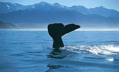 Whale Watching, Kaikora: Nature, wildlife & eco-tours | Christchurch & Canterbury Tourism