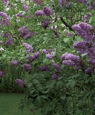 I love the lilacs.