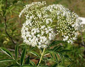 SUREAU : Généreux et prolixe, entre juin et juillet, le sureau noir donne naissance à de petites fleurs blanches très parfumées et à des fruits ayant l'apparence de baies noires et arrivant à maturité fin août.