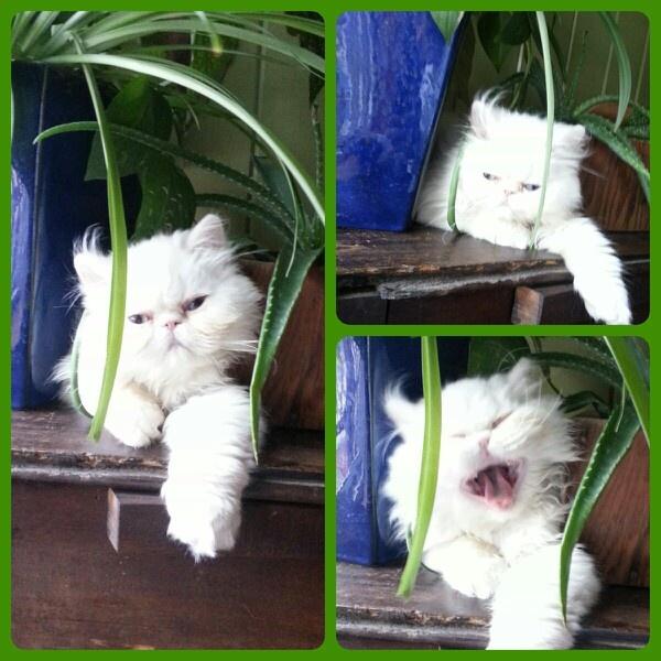 My #persian kitten, Cinco de Meowww.  #pets #cats #kitten