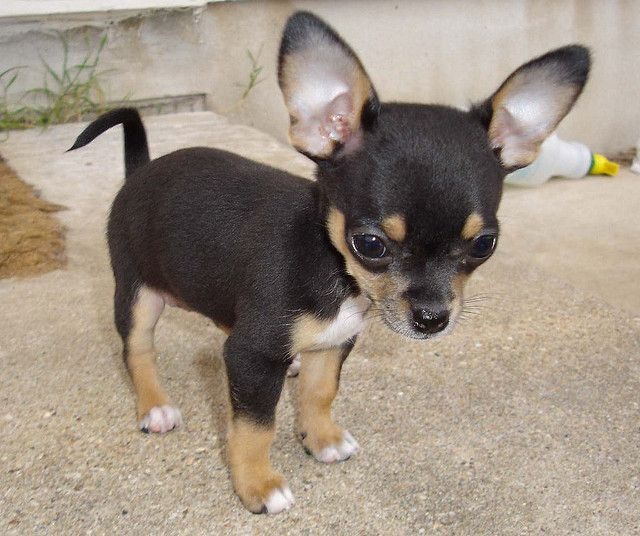 Cute, Little, Chihuahua Puppy!