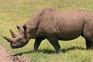Rinoceronte de Java: cazado sobre todo debido a las propiedades que se le atribuyen a su cuerno en la medicina tradicional china y como objeto decorativo. Sólo existían cerca de 29 ejemplares en la isla de Java, Indonesia, en 2012.