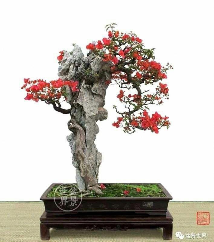Bonzaitree Zimmerpflanzen Bonsai Pflanzen