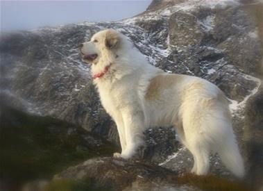 Pyrineer, love this beautiful big dogs