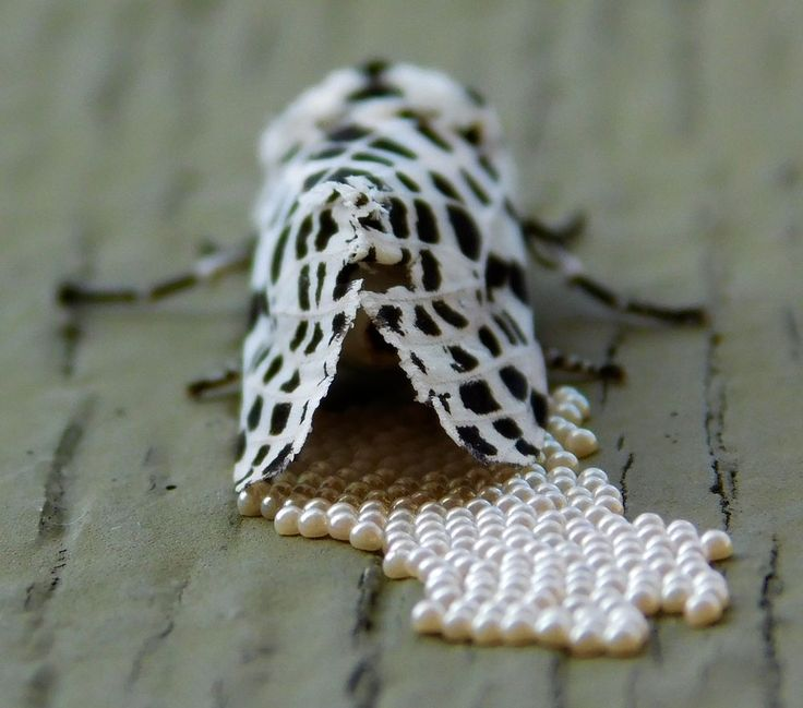 The Many-Spotted White Tiger Moth Photo by Heather Wolfers - 2015 National Geographic Photo Contest