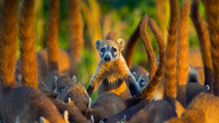 Cozumel Island coatis, Cozumel Island, Mexico (© Kevin Schafer/Minden Pictures)