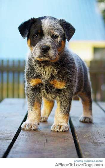 aww. Australian cattle dog. AKA blue healer.