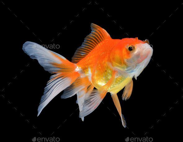 Gold Fish On Black Background Goldfish Black Backgrounds Fish